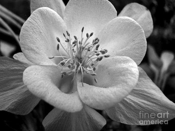 Flowers Art Print featuring the photograph Columbine by Amanda Barcon