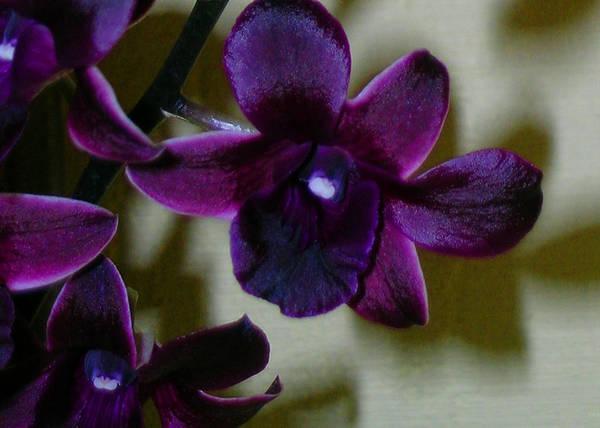Dendrobium Nobile Orchid Art Print featuring the photograph Dendrobium Nobile Orchid by James Temple