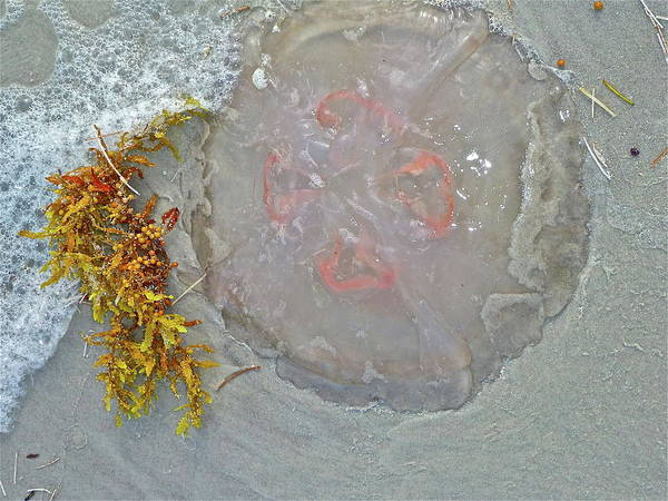 Jellyfish Art Print featuring the photograph Don't Touch by Diana Hatcher