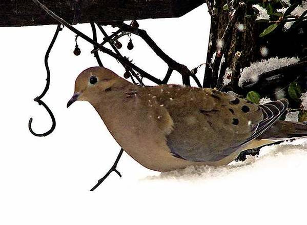 Dove Art Print featuring the photograph Dove by Linda Carroll