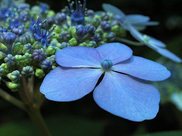 Flower Art Print featuring the photograph Hydrangea by Juergen Roth