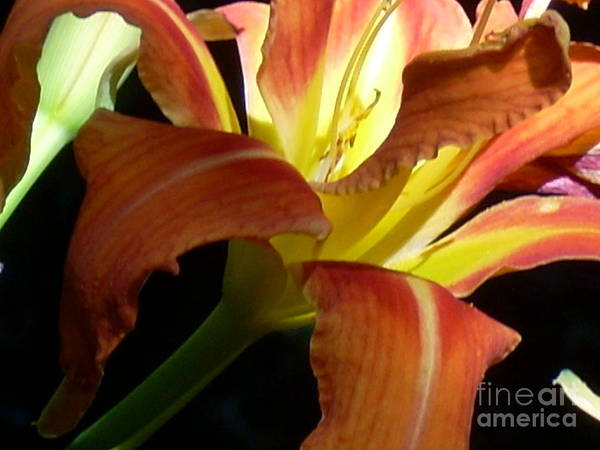Single Flower Art Print featuring the photograph Mountain Day Lily by Beebe Barksdale-Bruner