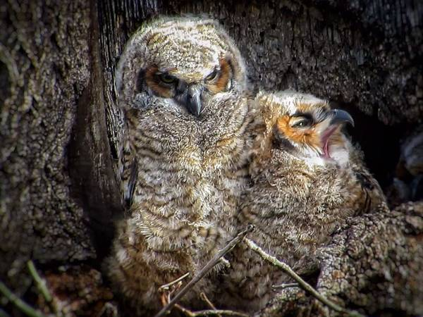 Great Horned Owl Art Print featuring the photograph Nap time by Rrrose Pix