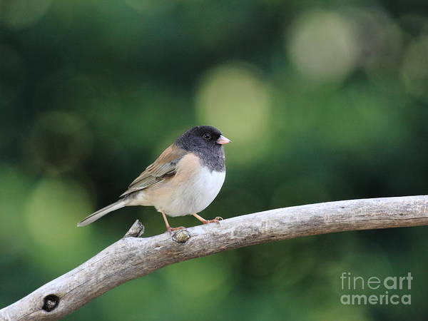Wildlife Art Print featuring the photograph Oregon Junco by Wingsdomain Art and Photography