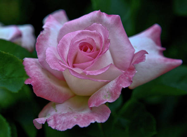 Rose Art Print featuring the photograph Pink And White by Liz Santie