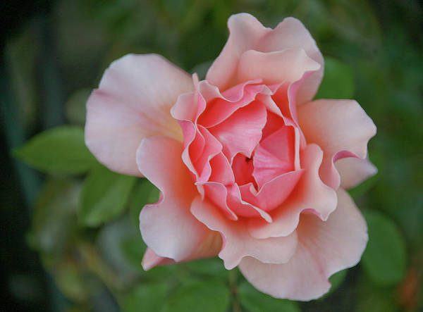 Rose Art Print featuring the photograph Pink Rose by Liz Santie