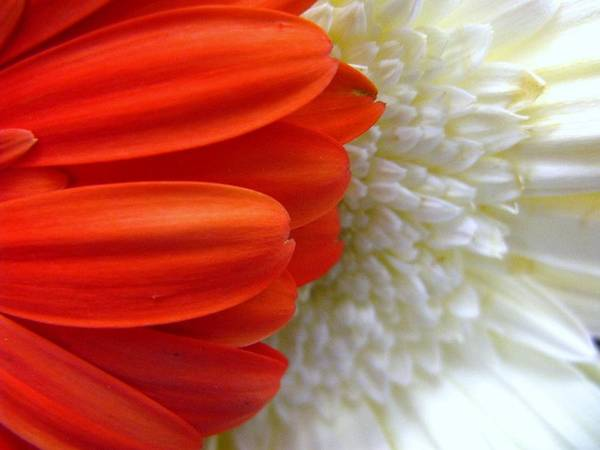 Flowers Art Print featuring the photograph Red and White by Rhonda Barrett