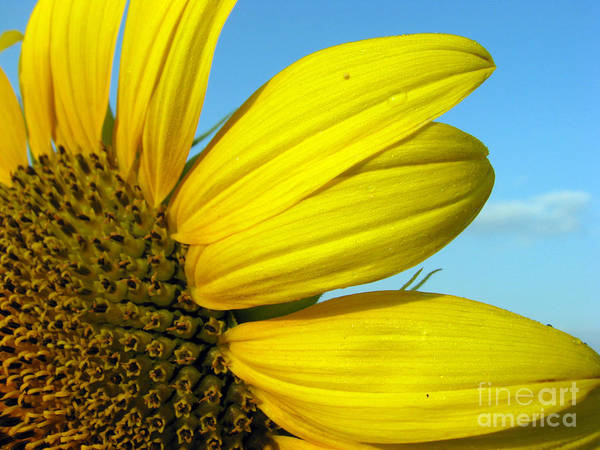 Sunflowers Art Print featuring the photograph Sunflower by Amanda Barcon