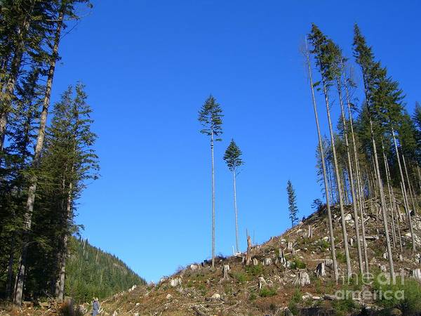 British Columbia Art Print featuring the photograph Tall Timbers by Jim Thomson
