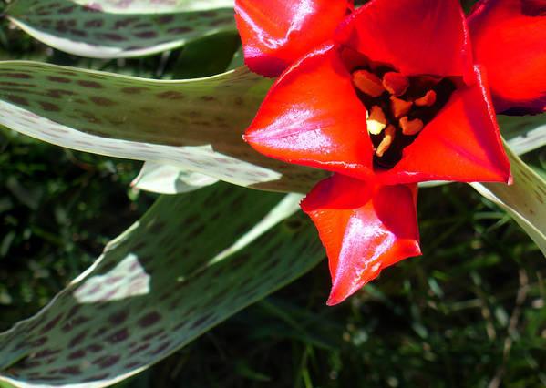Tulip Art Print featuring the photograph Tulip by Steve Karol