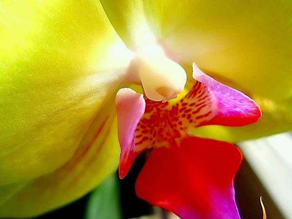 Yellow Orchid Art Print featuring the photograph Yellow Orchid by Beth Akerman