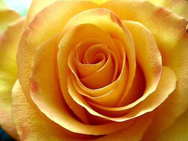 Yellow Rose Upclose Art Print featuring the photograph Yellow Rose Upclose by Beth Akerman