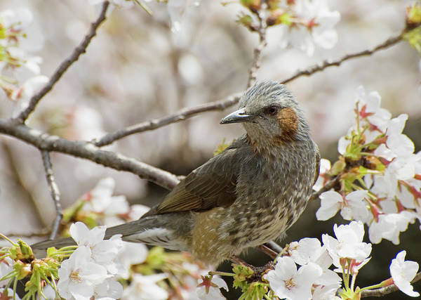 Alertness Art Print featuring the photograph Bird Perched Among Cherry Blossoms by Philippe Widling / Design Pics