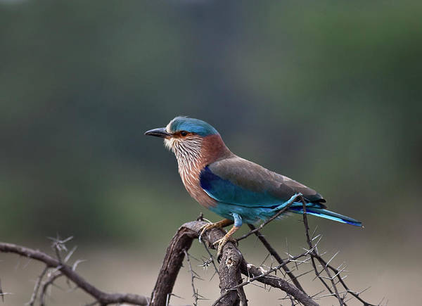 Blue Jay Art Print featuring the photograph Blue Jay Or Indian Roller by Nature Photography By Jayaprakash