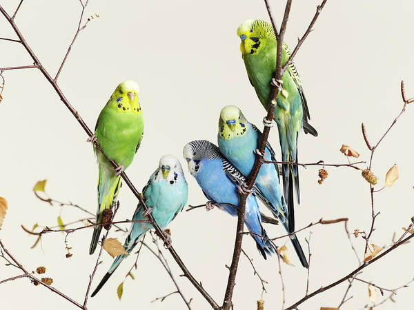 Connection Art Print featuring the photograph Budgies Grouped On A Branch by Walker And Walker