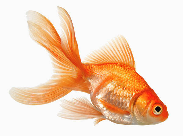 Orange Color Art Print featuring the photograph Fancy Goldfish by Don Farrall