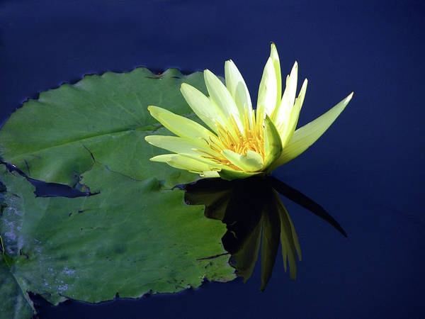 Water Lily Art Print featuring the photograph Golden Lily by John Lautermilch