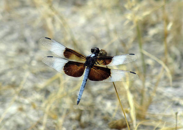 Insect Art Print featuring the photograph Male Widow Skimmer by Bill Morgenstern