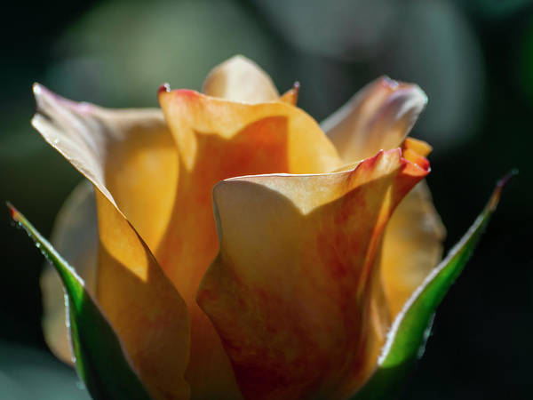 Aesthetic Art Print featuring the photograph Nature - Amber Rose Vase Like by Arthur Babiarz