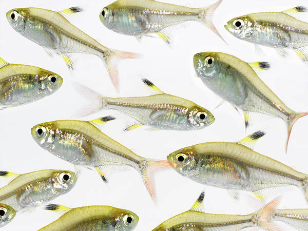 White Background Art Print featuring the photograph School Of X-ray Tetra Fish Pristella by Don Farrall