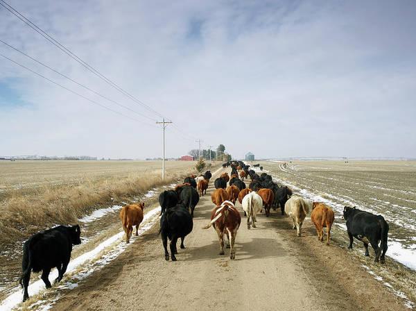 Cattle Drive Art Print featuring the photograph Usa, Nebraska, Great Plains, Herd Of by John Kelly