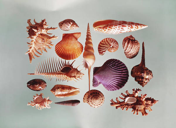 Cowrie Shell Art Print featuring the photograph Various Sea Shells On Grey Background by Tom Kelley Archive