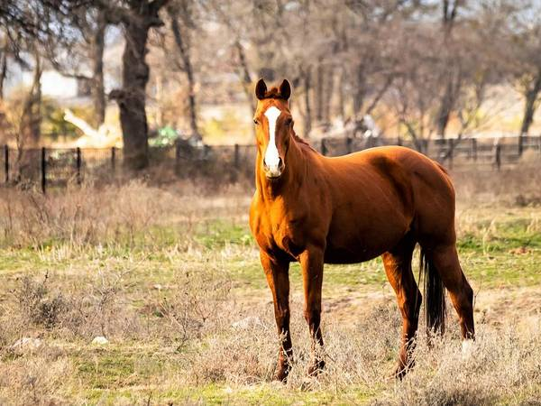 Horse Art Print featuring the photograph Bay Horse 1 by C Winslow Shafer