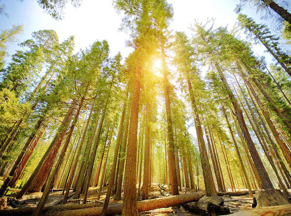 Sequoia Tree Art Print featuring the photograph Mariposa Grove Trees In Yosemite National Park by Orbon Alija