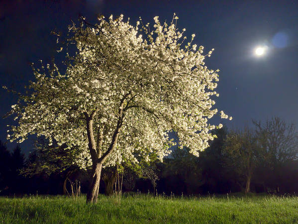 Apple Blossom Art Print featuring the photograph Moonlit Blooming Tree by Bernd Schunack