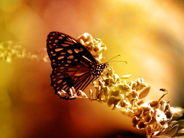 Butterfly Art Print featuring the photograph Radiance by Holly Kempe