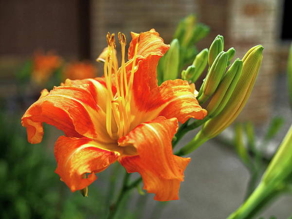 Orange Art Print featuring the photograph Spring Flower 14 by C Winslow Shafer