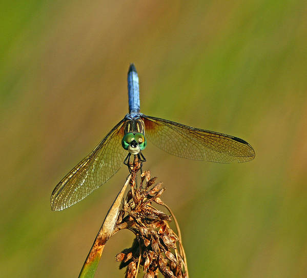 Dragonfly Art Print featuring the photograph Blue Dasher by Bill Morgenstern