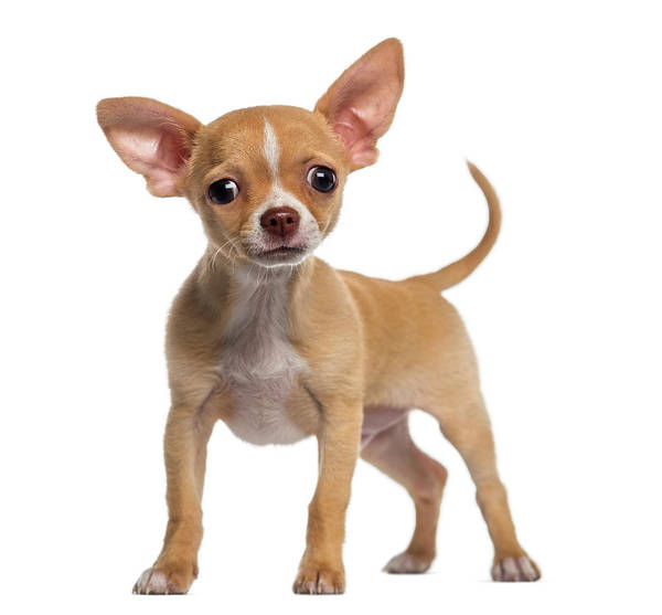 Pets Art Print featuring the photograph Alert Chihuahua Puppy 3 Months Old by Life On White