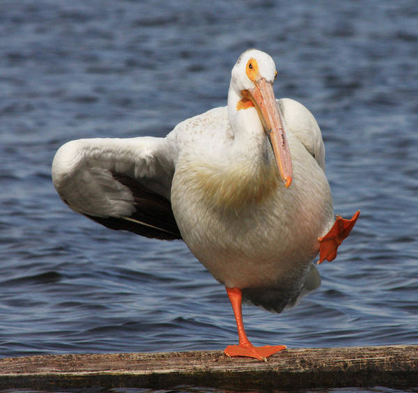 Pelican Art Print featuring the photograph Dancing The Funky Chicken by Shane Bechler
