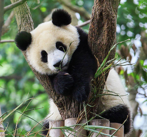Panda Art Print featuring the photograph Panda Cub Resting On Tree by Feng Wei Photography