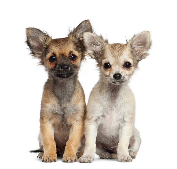 Pets Art Print featuring the photograph Two Chihuahua Puppies Sitting 3 Months by Life On White