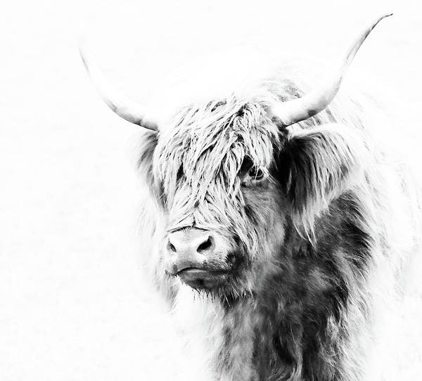 Highland Cow Highland Cow Print Highland Cow Art Highland Cattle Cow Painting Cow Wall Art Cow Art Work Cow paintings Scottish Cow Hairy Cow