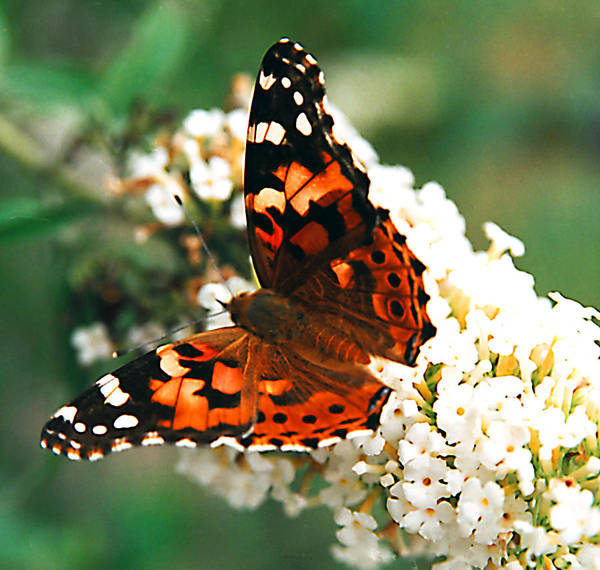 Butterfly Art Print featuring the photograph Butterfly Bush by Paul Trunk