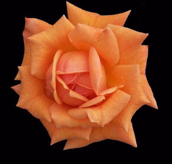 Rose Art Print featuring the photograph Rose on Black Velvet by Ellen B Pate