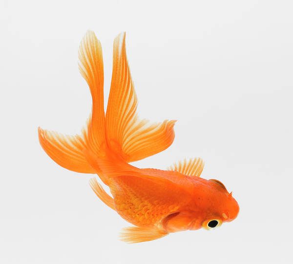 Pets Art Print featuring the photograph Fantail Goldfish Carassius Auratus by Don Farrall