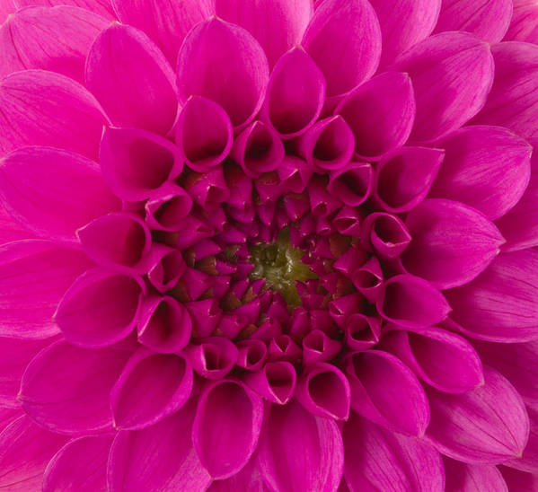 Saturated Color Art Print featuring the photograph Dahlia by Vidok