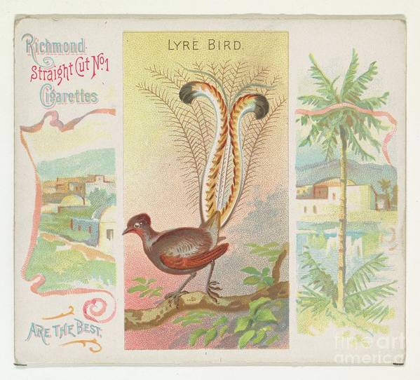 1880-1889 Art Print featuring the drawing Lyre Bird by Heritage Images