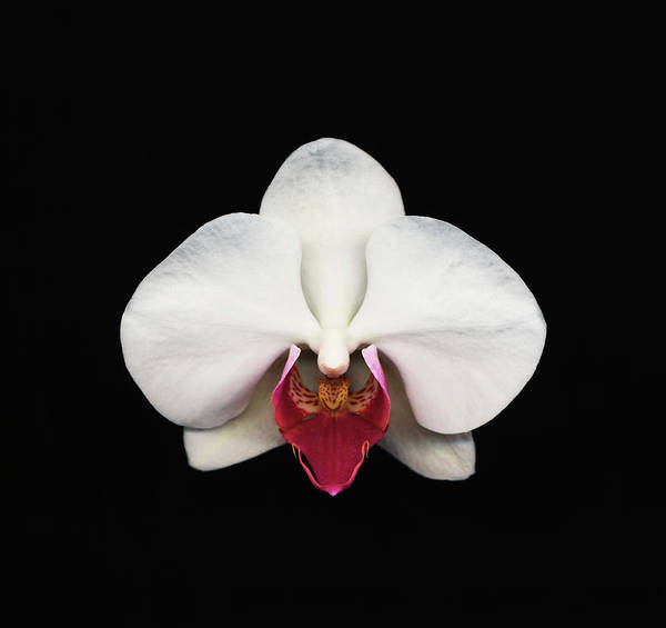 Black Background Art Print featuring the photograph Moth Orchid Against Black Background by Mike Hill