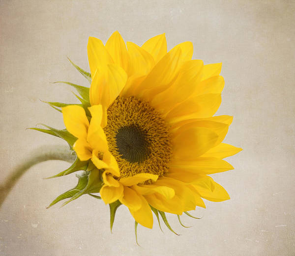 Sunflower Art Print featuring the photograph I See Sunshine by Kim Hojnacki