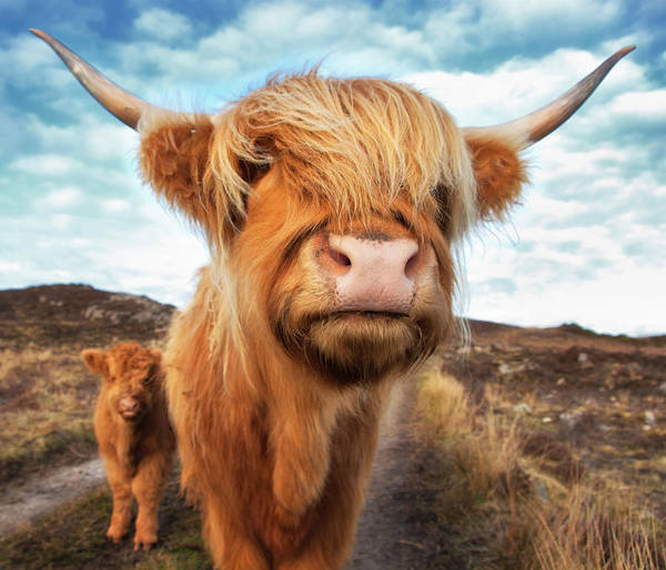 Horned Art Print featuring the photograph Uk, Scotland, Highland Cattle With Calf by Westend61