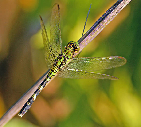 Dragonfly Art Print featuring the photograph Eastern Pondhawk by Bill Morgenstern