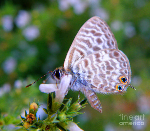 Butterfly Art Print featuring the photograph Papallona Violeta by Amparo Gallego Mateo