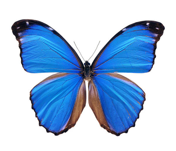 Amazon Rainforest Art Print featuring the photograph Blue Morpho Butterfly - Large by Phototalk