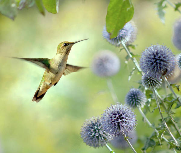 Animal Themes Art Print featuring the photograph Hovering Hummingbird by Nancy Rose