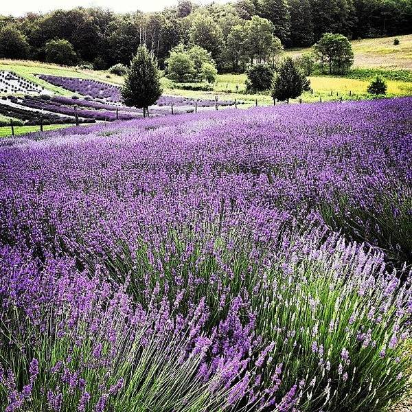 Lavender Art Print featuring the photograph Lavender Farm Landscape by Christy Beckwith